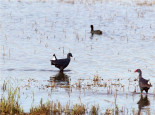 Purple swamp-hens in Ria Formosa